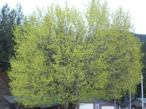 Tree just blooming in Spring